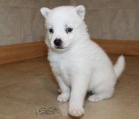 Pomsky Puppies for sale in Sun City, AZ, USA. price: NA