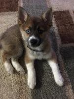 Pomsky Puppies for sale in Wareham, MA, USA. price: NA