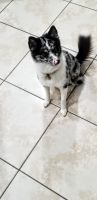 Pomsky Puppies for sale in Fort Myers, FL 33919, USA. price: NA