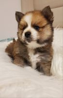 Pomsky Puppies for sale in Lakewood, CO, USA. price: NA