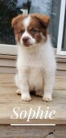 Pomsky Puppies for sale in Dayton, OH, USA. price: NA