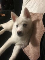 Pomsky Puppies for sale in 544 Beaumont-Elm St, North Wilkesboro, NC 28659, USA. price: NA