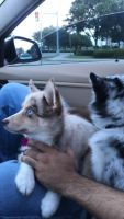 Pomsky Puppies for sale in 2710 Routh Creek Pkwy, Richardson, TX 75082, USA. price: NA
