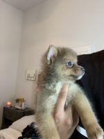 Pomsky Puppies for sale in Jacksonville, FL, USA. price: NA