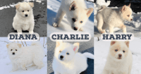 Pomsky Puppies for sale in Lake Zurich, IL, USA. price: NA