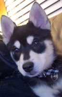 Pomsky Puppies for sale in Newark, OH, USA. price: NA