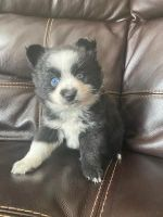 Pomsky Puppies for sale in Finlayson, MN 55735, USA. price: NA