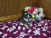Pomsky Puppies for sale in Grabill, IN 46741, USA. price: NA