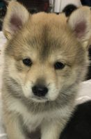 Pomsky Puppies for sale in Salt Lake City, UT 84107, USA. price: NA