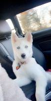Pomsky Puppies for sale in 111 Fairfax Dr, Stephens City, VA 22655, USA. price: NA