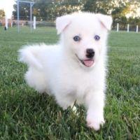 Pomsky Puppies for sale in Phoenix, AZ, USA. price: NA