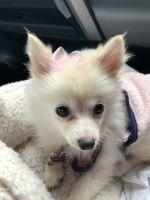 Pomsky Puppies for sale in Carol Stream, IL, USA. price: NA