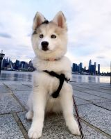 Pomsky Puppies for sale in West New York, NJ 07093, USA. price: NA