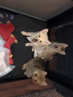 Pomsky Puppies for sale in Aurora, CO, USA. price: NA