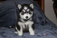 Pomsky Puppies for sale in Smithfield, RI, USA. price: NA