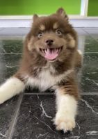 Pomsky Puppies for sale in Fort Lauderdale, FL, USA. price: NA