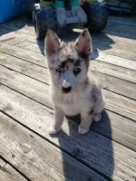 Pomsky Puppies for sale in Holland, MI 49423, USA. price: NA