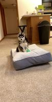 Pomsky Puppies for sale in Erie, PA, USA. price: NA