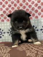 Pomsky Puppies for sale in Miami Gardens, FL, USA. price: NA