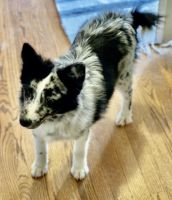 Pomsky Puppies for sale in Lake Orion, Orion Charter Township, MI 48362, USA. price: NA