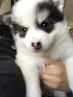 Pomsky Puppies for sale in Roselle, IL, USA. price: NA