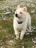 Pomsky Puppies for sale in North Olmsted, OH, USA. price: NA