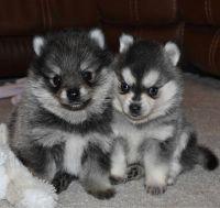 Pomsky Puppies for sale in Birmingham, AL 35201, USA. price: NA