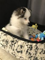 Pomsky Puppies for sale in Riverview, FL, USA. price: NA