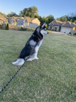 Pomsky Puppies for sale in Hoschton, GA 30548, USA. price: NA