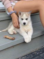 Pomsky Puppies for sale in Stockton, CA, USA. price: NA