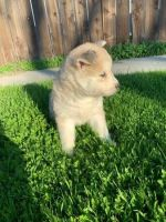 Pomsky Puppies for sale in Las Vegas Convention Center, 3150 Paradise Rd, Las Vegas, NV 89109, USA. price: NA