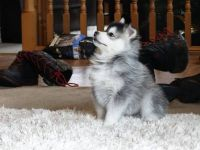 Pomsky Puppies for sale in Seattle, WA, USA. price: NA