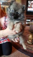 Pomsky Puppies for sale in Hamilton, MT 59840, USA. price: NA