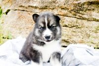 Pomsky Puppies for sale in Franklin, KY 42134, USA. price: NA