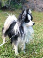 Pomsky Puppies for sale in Kingsland, GA, USA. price: NA