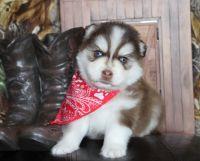 Pomsky Puppies for sale in Dallas, TX, USA. price: NA