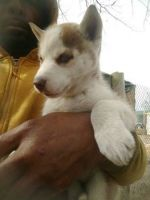 Pomsky Puppies for sale in Los Angeles, CA, USA. price: NA