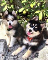 Pomsky Puppies for sale in Miami, FL, USA. price: NA