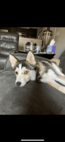 Pomsky Puppies for sale in Chattanooga, TN, USA. price: NA