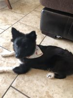 Pomsky Puppies for sale in Slidell, LA, USA. price: NA