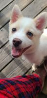 Pomsky Puppies for sale in Methuen, MA 01844, USA. price: NA