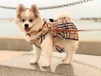 Pomsky Puppies for sale in St. Augustine, FL, USA. price: NA