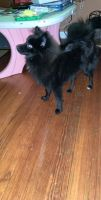Pomsky Puppies for sale in New Bedford, MA, USA. price: NA