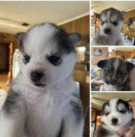 Pomsky Puppies for sale in NJ-42, Monroe Township, NJ, USA. price: NA