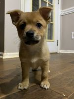 Pomsky Puppies for sale in Steele Creek, Charlotte, NC, USA. price: NA
