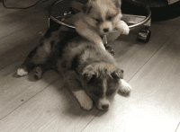 Pomsky Puppies for sale in Bismarck, ND, USA. price: NA
