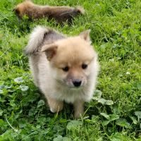 Pomsky Puppies for sale in Millersburg, OH 44654, USA. price: NA