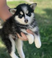 Pomsky Puppies for sale in Manteca, CA, USA. price: NA