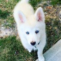 Pomsky Puppies for sale in Springville, UT, USA. price: NA