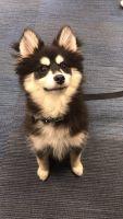Pomsky Puppies for sale in Buffalo, NY, USA. price: NA